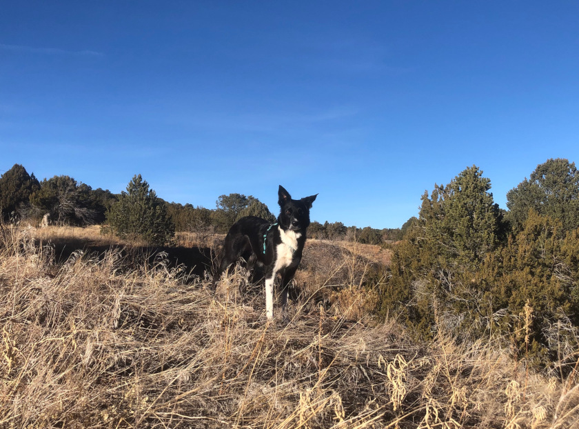 Border Collie dog toe amputation story