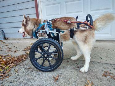 three legged dog tries wheelchair