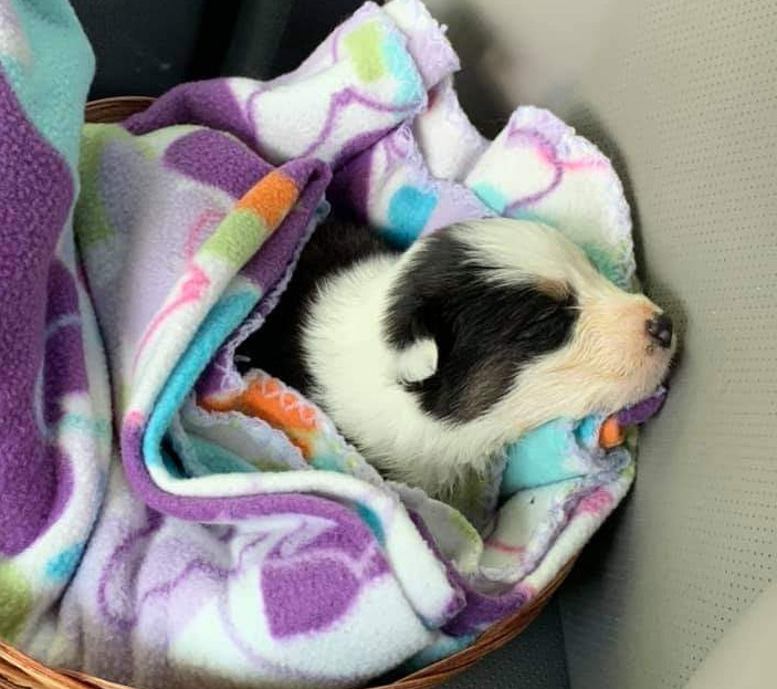 Tripawd Tuesday puppy Tripp