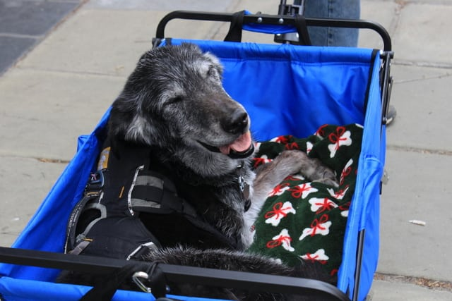 Three legged senior dog stroller