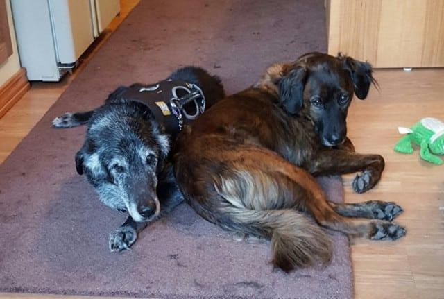 three legged senior dog.