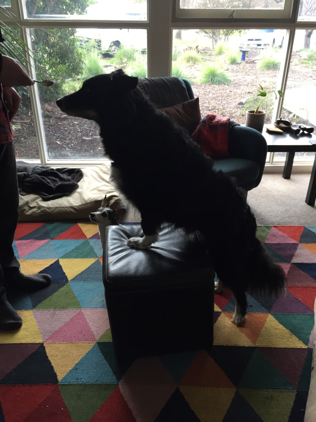 Tripawd exercise at home