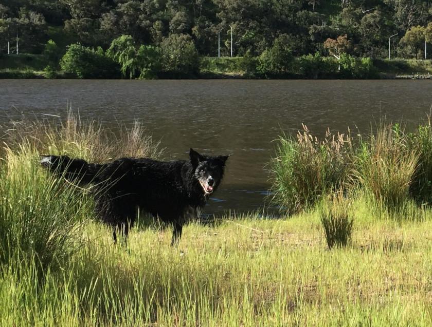 three-legged dog swims