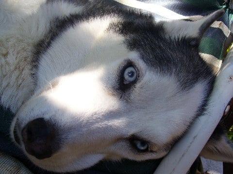 Bone Cancer Hero Husky Dog Buster