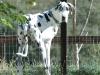 Three legged Dane Dog Moose