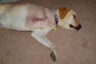 dog bone cancer - 600×399