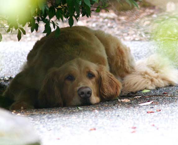 Tripawd, three-legged, Golden, dog, amputee, Tripod