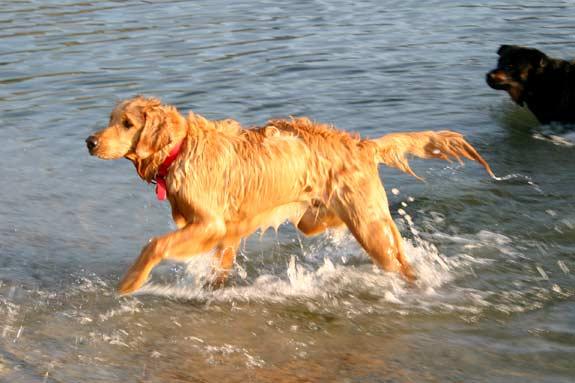 Tripawd, three-legged, golden retriever, swimming