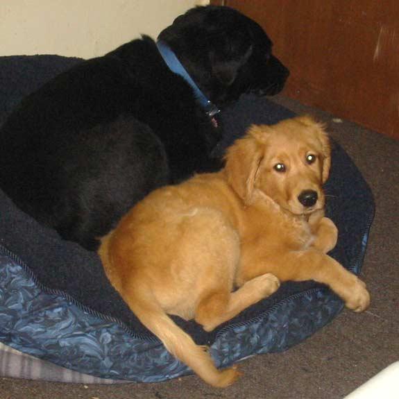 Tripawd, three-legged, amputee, dog, Riley, Golden Retriever