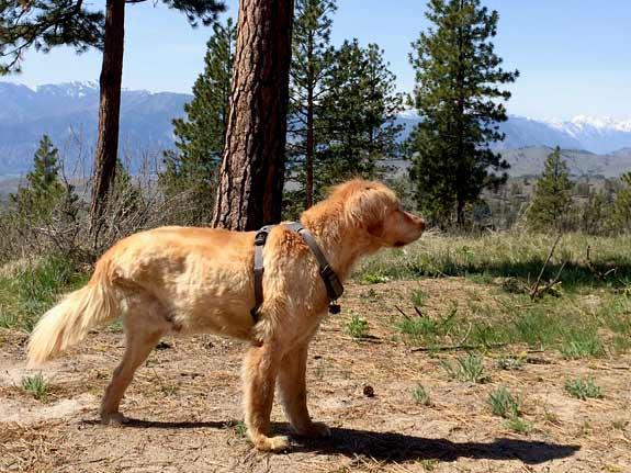 Tripawd, three-legged, golden retriever, dog, Riley, amputee, hiking