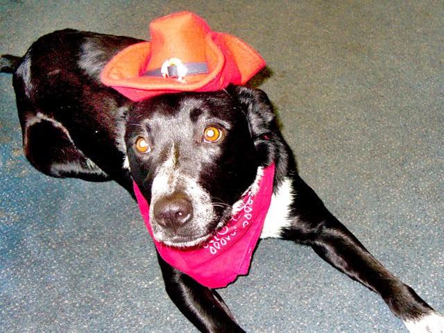 Three Legged Australian Cattle Dog John Wayne