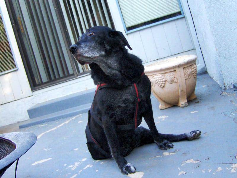 Three Legged Senior Dog Sami Gurl