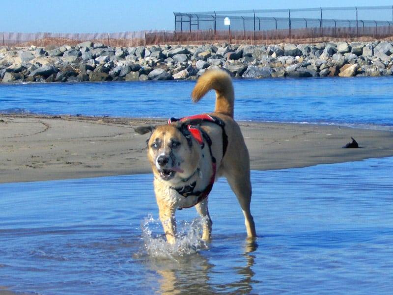 Three Legged Dog Maximutt Plays at Beach
