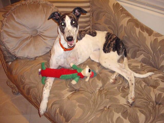Three Legged Greyhound Princess Fiona