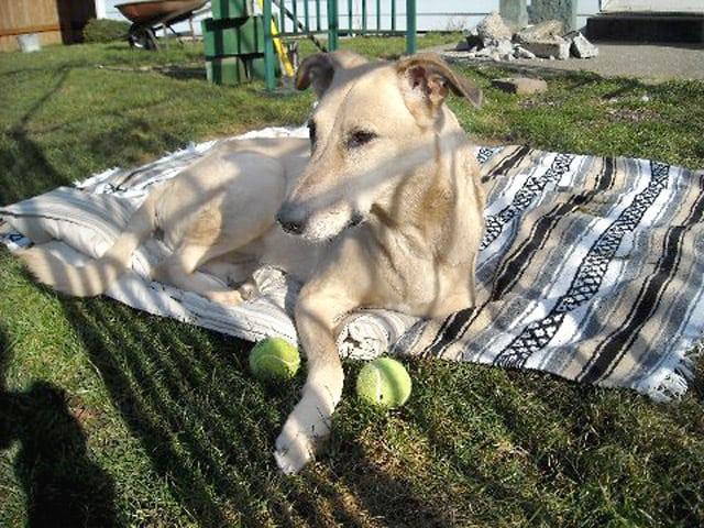 three legged dog uschi taken by cancer