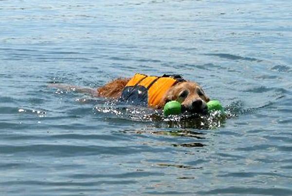 tired Tripawd dog swimming