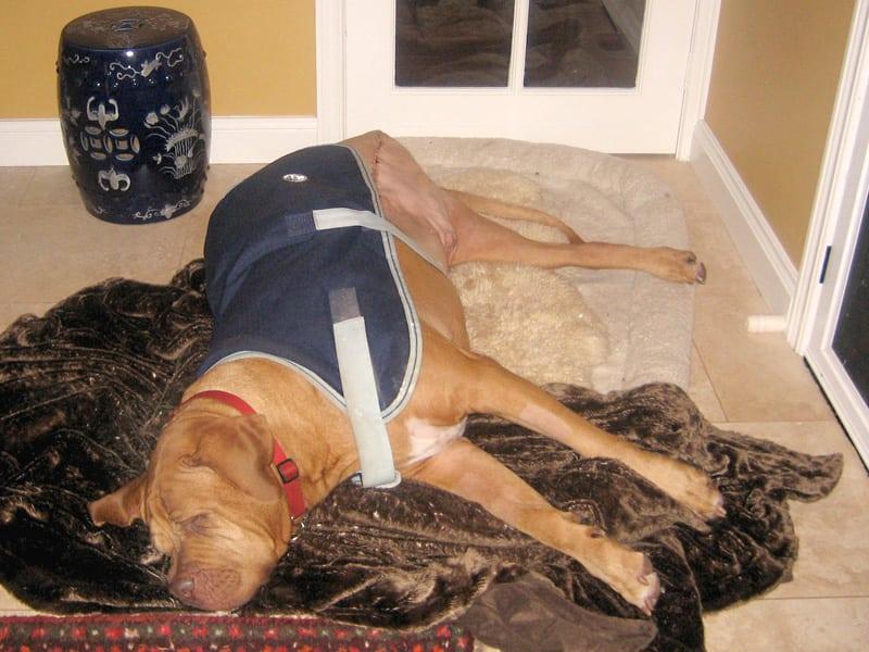 Three Legged Cancer Dog French Mastiff Butch