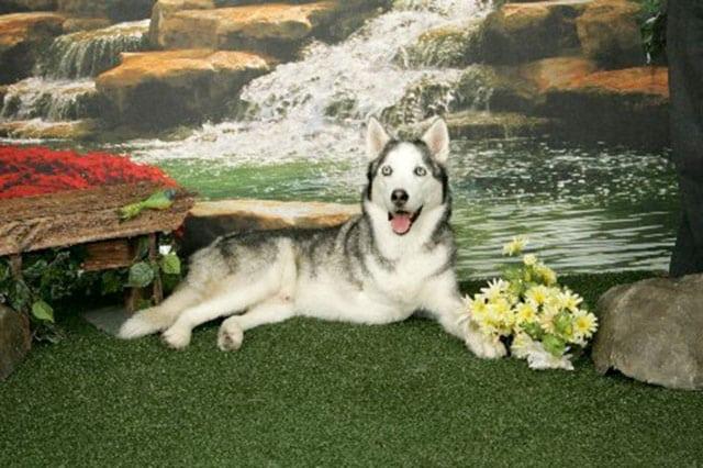 Three legged Huskey dog Buster