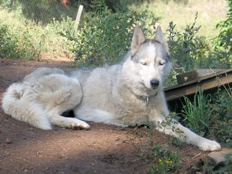 Three Legged Calpurnia from Odaroloc Sled Dogs