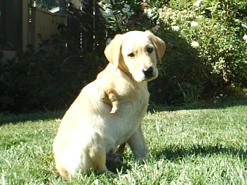 three legged lab puppy needs good home