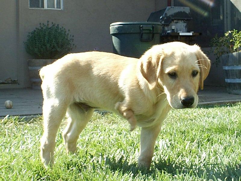 three legged lab puppy born with deformity