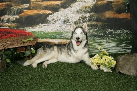 Buster Husky Tripod Dog