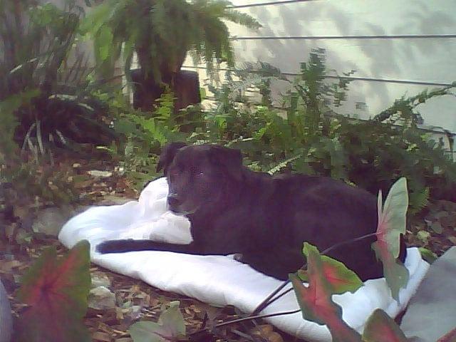 Three legged cancer dog hero Abbey