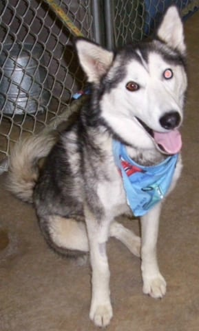 Adopt a three legged husky dog