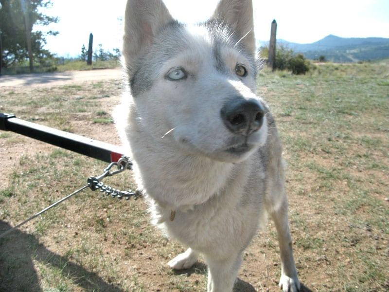 Three legged sled dog musher calpurnia