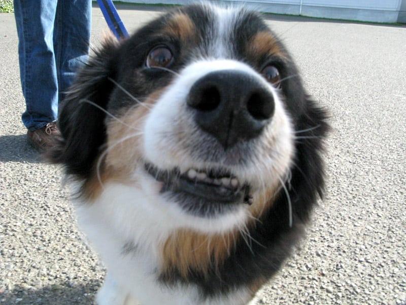 three legged rescue dog Teddy in Eureka, CA