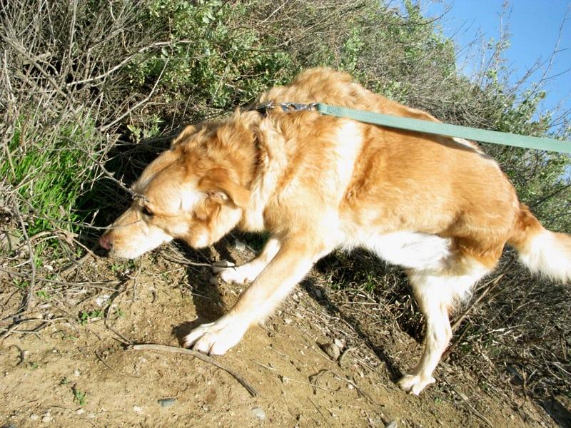 Three Legged Dog MaxC on Long Walk