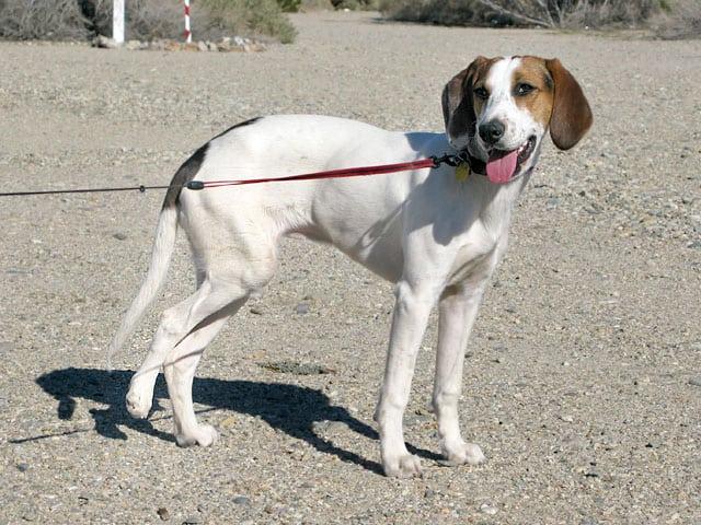Ruby Four Legged Puppy Mill Rescue Tripod Dog