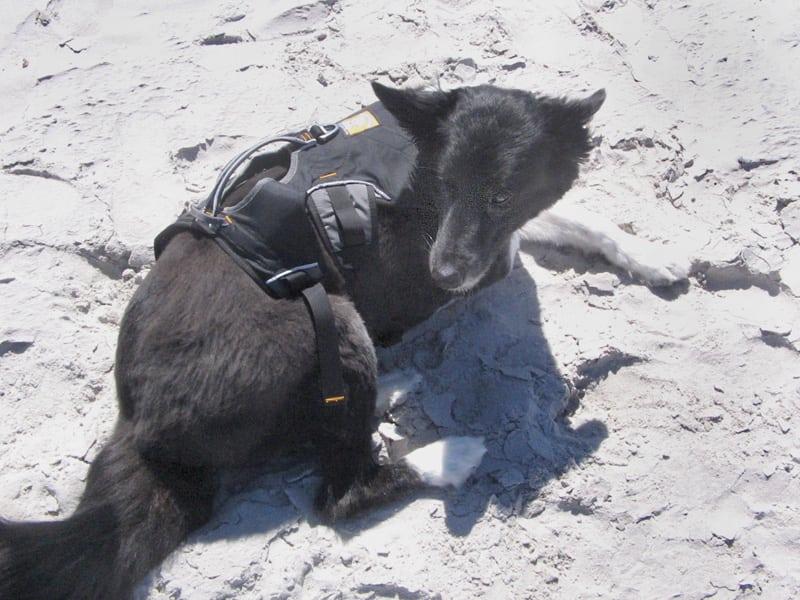 Three Legged Dog Dee on South Africa Beach