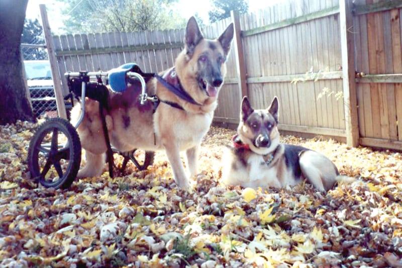 German Shepherds Quadriplegic Sheba and Three-Legged Trouble