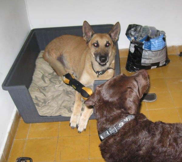 Israeli Tripod Dog meets friend