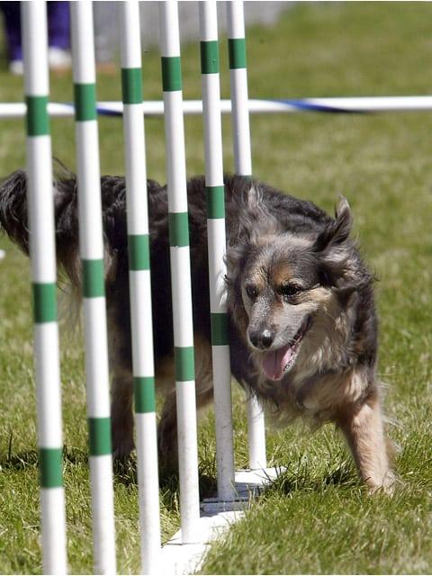 Three Legged Agility Dog Serena