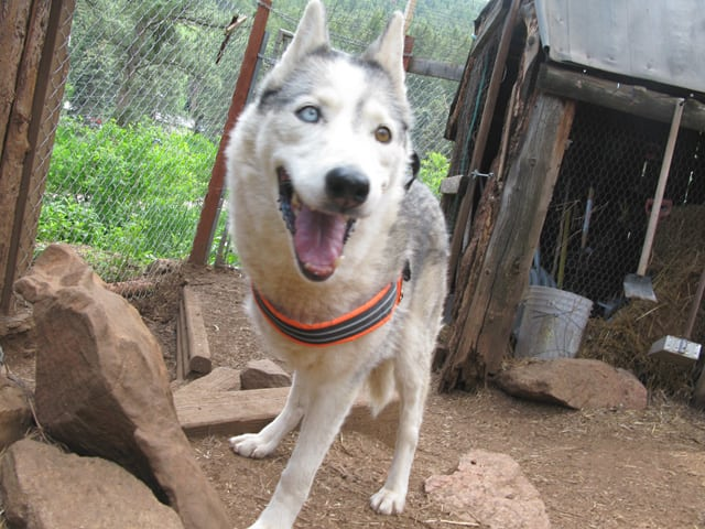 three-legged Tripawd sled dog Calpurnia