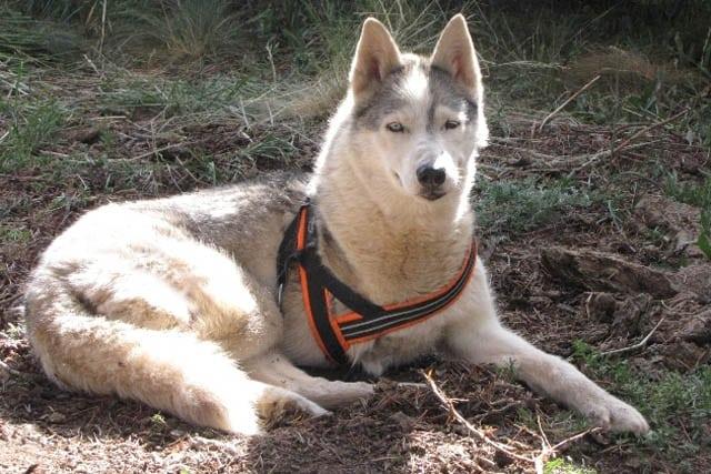 Tripod Sled Dog Calpurnia