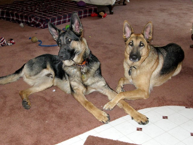 Three-legged German Shepherds