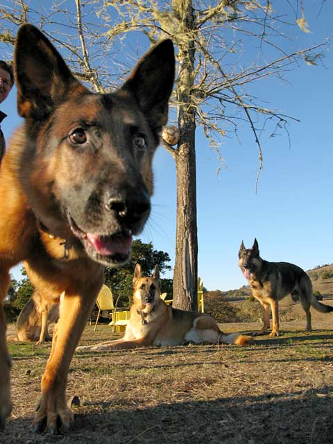 Three Legged German Shepherds of Oaktown Pack