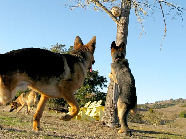 Three Legged German Shepherds Tree a Soccer Ball