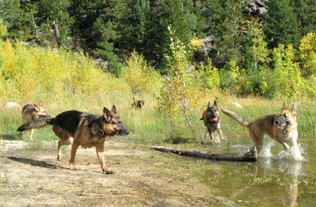 three-legged German Shepherd dogs